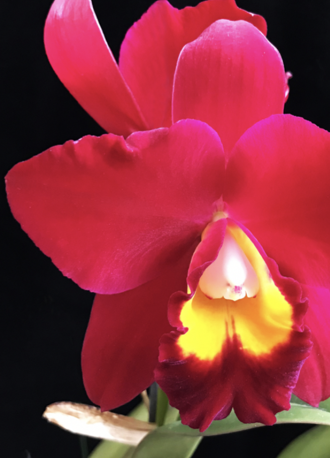 orchid photo from front cover of Coastal Gardeners yearbook by ikande web design